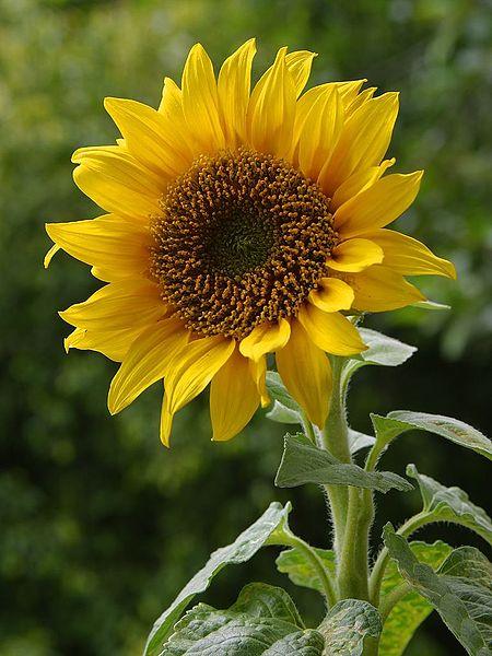 450px-a_sunflower