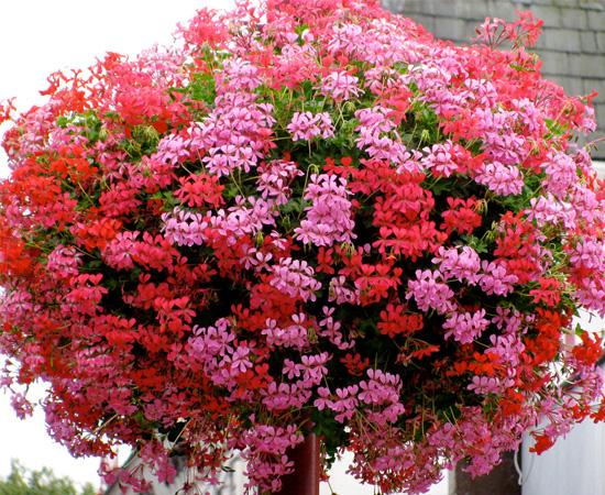 geraniums2_ppx_550x450